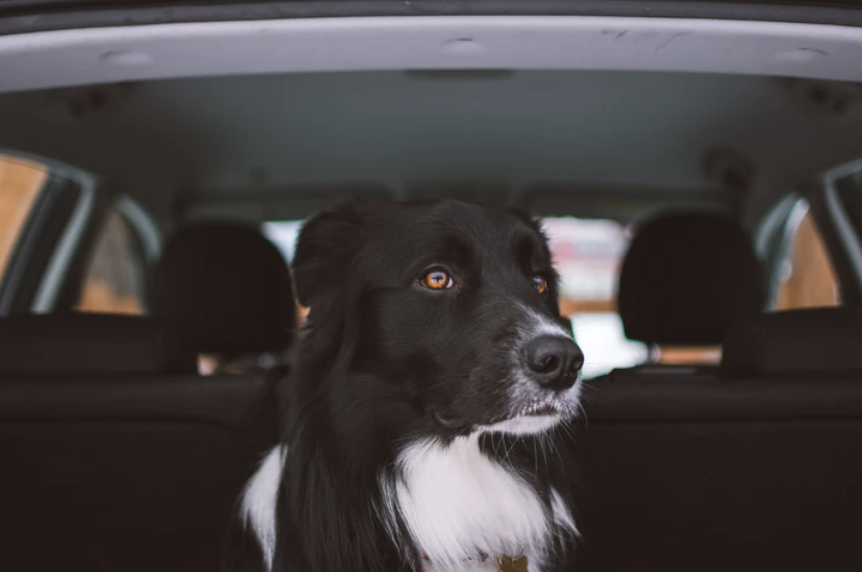 How Best to Travel with Fido